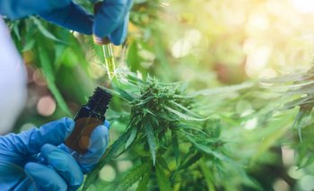 Marihuana medicinal: el partido de San Martín busca regular el autocultivo | Legalizacion de la marihuana