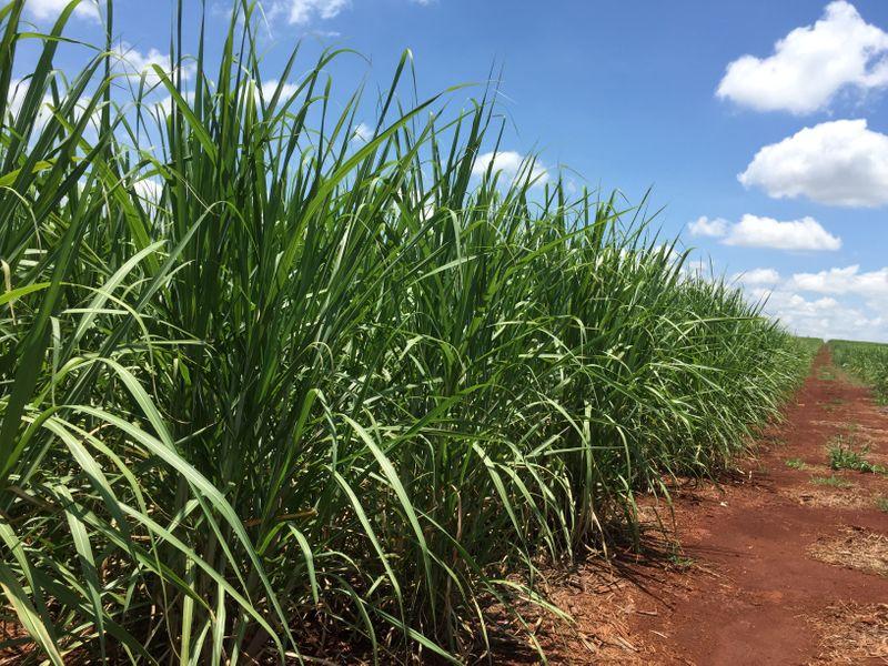 Se desploma la producción de azúcar en Brasil y cierran ingenios   Alimentos