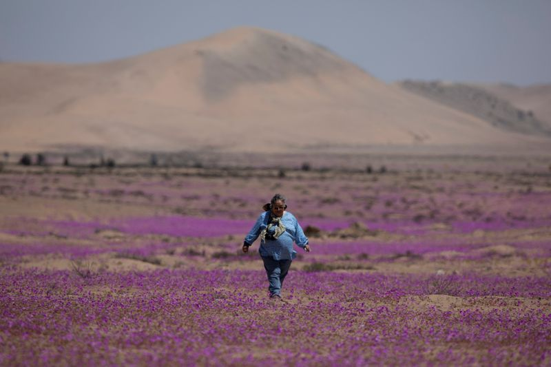 Pese a la persistente sequía en Chile, el desierto más árido del mundo se llena de flores   Cambio climático