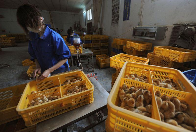 Aumentan los casos de gripe aviar en China y preocupan las variantes | Salud