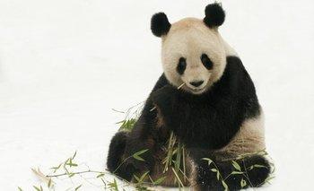 Nació un panda por primera vez en el zoológico de Singapur | Animales
