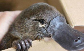 Insólito descubrimiento: los ornitorrincos brillan en la oscuridad | Fenómenos naturales