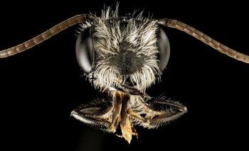 Capturan una abeja gigante que se creía extinta y la venden por miles de dólares | Animales