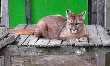 Encontraron un puma perdido en un garage de La Plata | Animales